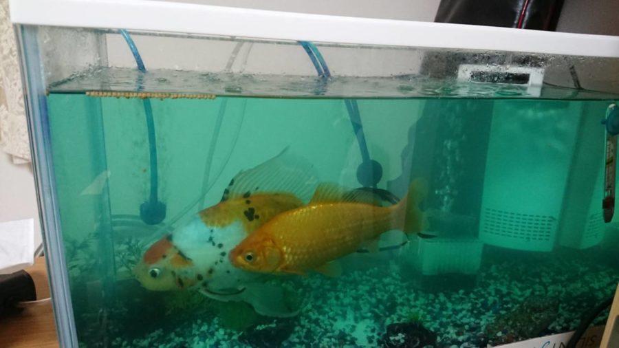 祝、近藤家の金魚2歳になりました。かなり大きく成長してます。