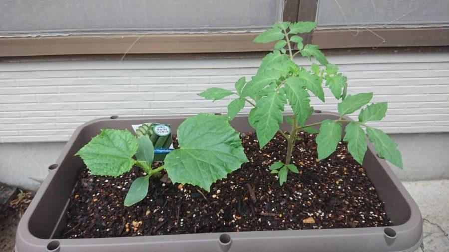 今年から野菜の栽培を始めました。(とりあえずトマトとキュウリ)