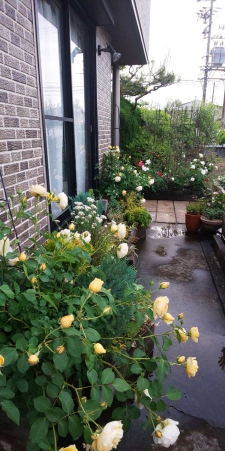5~6月は薔薇の開花時期🌹🌹🌹